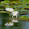 White Lily flower reflection