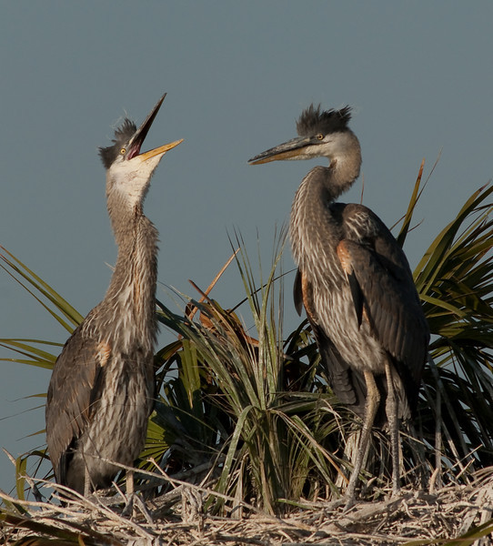 Juvenile Great Blue Herons - Listen to Me