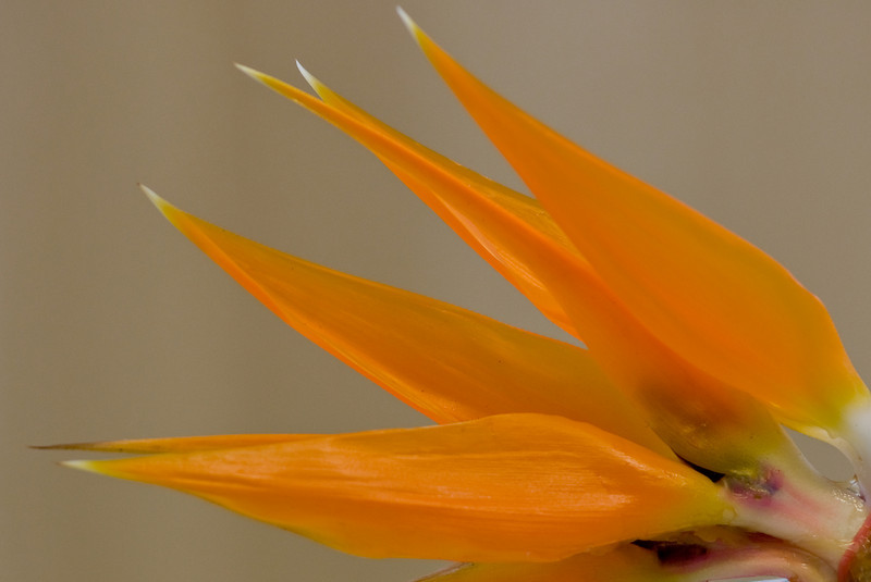 Close-up of a Bird of Paradise using a 500mm lens with 36mm Extension Tube