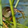 Least Bittern - I got my breakfast