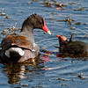 Parent and Baby Common Moorhen