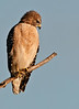 Red-shouldred Hawk - Who's back there