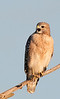 Red-shouldered Hawk - He's getting a little vocal