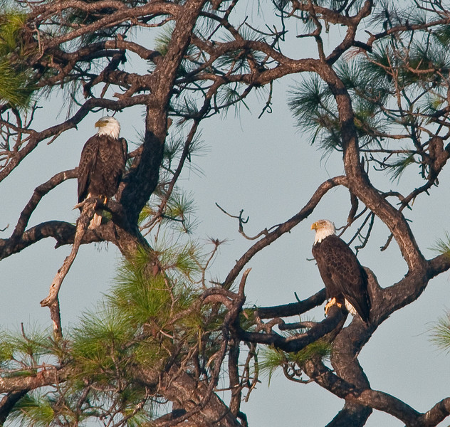The two Bald Eagles were photographed on the south-west corner of the Viera Wetlands