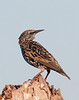European Starling - I can see you over there