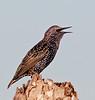 European Starling - I'm just speaking my mind