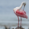 Roseate Spoonbill - Doing a little pruning