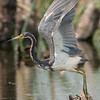 Tricolored Heron - Off I go again