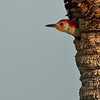 Red-bellied Woodpecker - Just checking outside!
