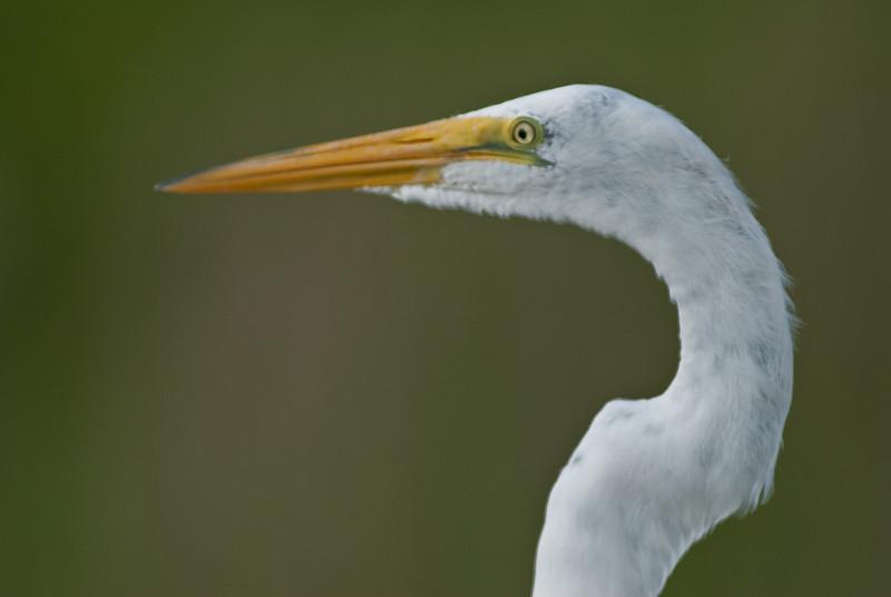 Great Egret - Just a portrait image