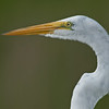 Great Egret - Just a portrait image