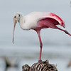 Roseate Spoonbill - The Leg Stretch