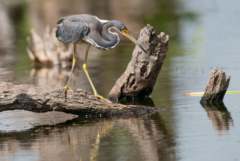 Tricolored Heron - Ready to strike that  fish