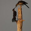 Boat-tailed Grackle - Getting a little something to eat
