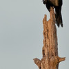 Boat-tailed Grackle - Taking care of my itch
