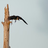 Boat-tailed Grackle - Off I go