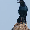 Boat-tailed Grackle - Calling for its mate.