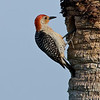 Red-bellied Woodpecker - Just checking in!