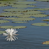 """White Lily flower reflection - """"Shannon's favorite"""" my granddaughter"""