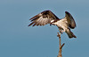 Osprey flopping its wings