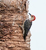 Red-bellied Woodpecker on the dead tree on the southeast side of the wetlands.