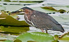 Green Heron with its catch.