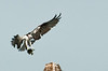 Osprey with its catch.  I used my D200 and 70-200mm f2.8 VR lens.