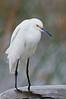 Snowy Egret standing on top of the black incoming water pipe for the wetlands.