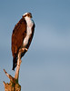 Osprey - This was taken with my Nikon 500mm lens and 1.7X Teleconverter.  This photo cropped down to 33% of its original size.