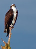 Osprey - This was taken with my Nikon 500mm lens and 1.7X Teleconverter.  This photo cropped down to 81% of its original size.