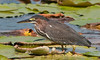 Green Heron looking for its next catch.
