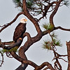 Bald Eagle - This photo was taken from the Southwest corner of the wetlands.  I used my 500mm lens and 1.7X Teleconverter.  This photo cropped down to 10% of its original size.