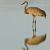 Viera Wetland Back Click Pond - Sandhill Crane Reflection