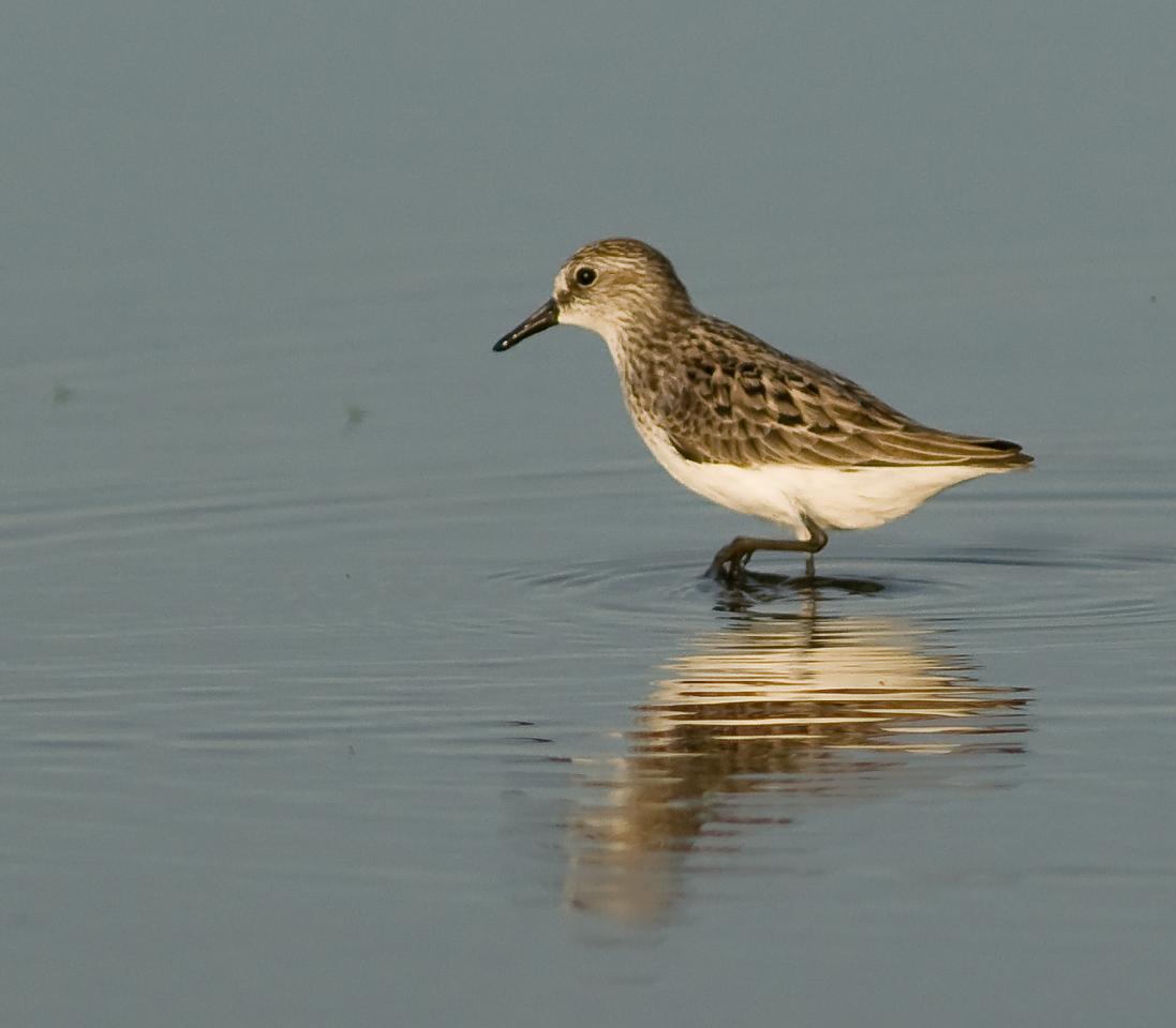 Viera Wetland Back Click Pond - Semipalmated Sandpiper