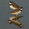 Viera Wetland Back Click Pond - Semipalmated Plover passing by each other