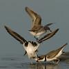 Viera Wetland Back Click Pond - Least Terns having a little dispute