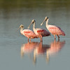 Viera Wetland Back Click Pond - Roseate Spoonbill - 3 is better than one