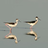 Viera Wetland Back Click Pond - Black-necked Stilt out for a walk