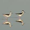 Viera Wetland Back Click Pond - Black-necked Stilt out for a walk