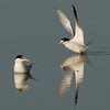 Viera Wetland Back Click Pond - Least Terns soft landing