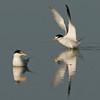 Viera Wetland Back Click Pond - Least Terns soft landing