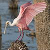Viera Wetland - Roseate Spoonbill ready to take off