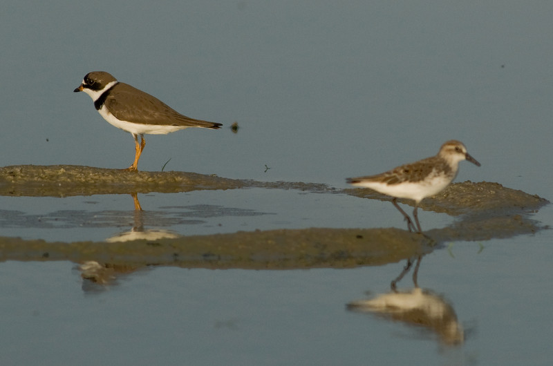 Viera Wetland Back Click Pond - Black-bellied Plover and a Semipalmated Sandpiper