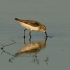 Viera Wetland Back Click Pond - Semipalmated Sandpiper looking for food