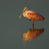 Viera Wetland Back Click Pond - Roseate Spoonbill see my reflection