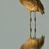 Viera Wetland Back Click Pond - Sandhill Crane Reflection