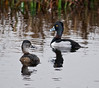 Viera Wetlands - Ring-necked Duck