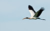 Wakodahatchee Wetlands - Wood Stork in flight