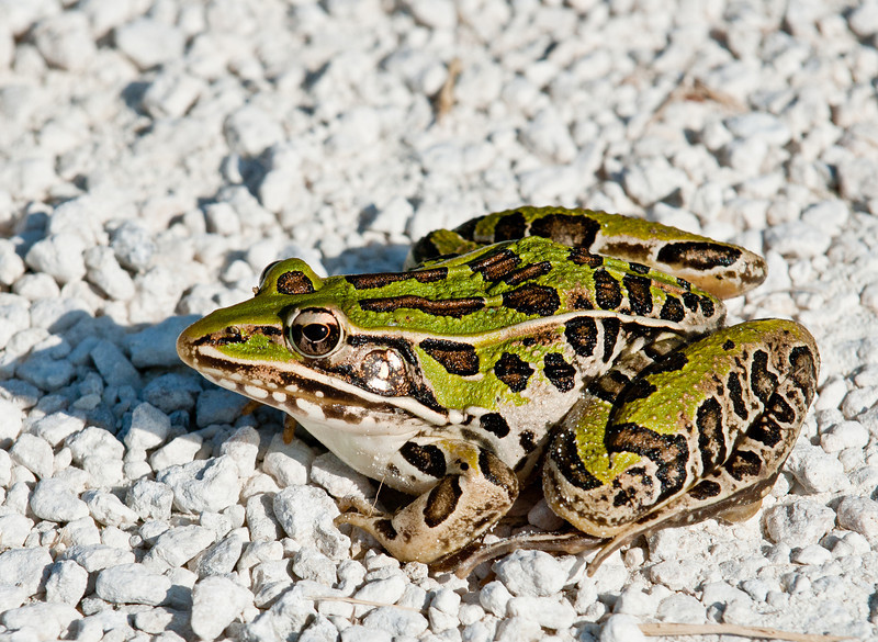 Black Point Wildlife Drive - Southern Leopard Frog