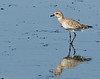 Black Point Wildlife Drive - Black-bellied Plover